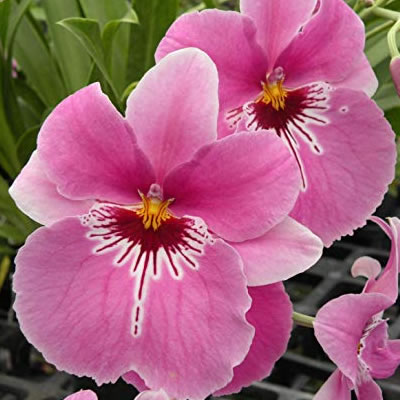 All About Miltonia Orchids And How To Grow Them